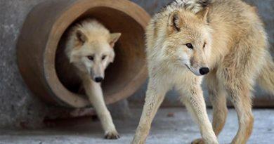 Πέντε αρκτικά λυκάκια από την Σερβία εγκαταστάθηκαν στην βόρεια Κίνα